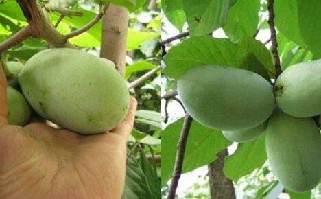 Вкусная экзотика на дачном участке – банановое дерево
