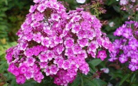 Уход за многолетними цветами после зимы
