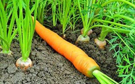 Полив и подкормка моркови