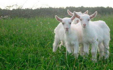 Выращивание козлят в козоводстве для начинающих