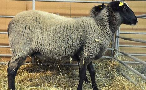 Романовская порода овец одевает в шубы полмира