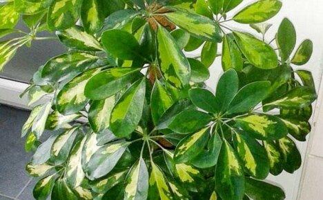 Удивительные сорта шеффлеры для любителей комнатных растений