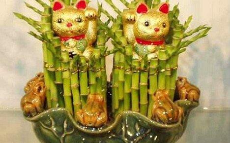 Чего ожидать от приобретенного «бамбука счастья» — драцены Сандера