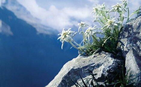 Эдельвейс – горный цветок любви на дачном участке
