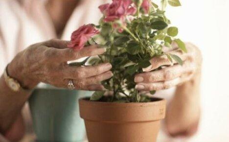 Что делать с комнатной розой в горшке после покупки?