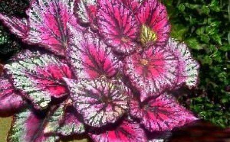 Бегония королевская – россыпь красок в одном цветке