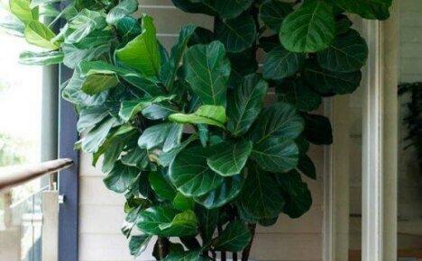 Растение для больших помещений — фикус лировидный