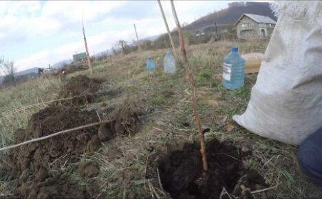 Когда сажать малину весной, плюсы и минусы весенней посадки