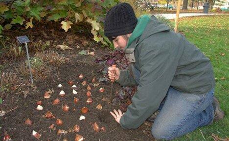 Правила осенней посадки луковиц тюльпанов
