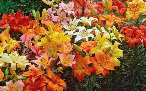 Разноцветный мир лилий: описания сортов с фото и названиями