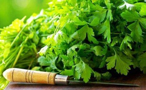 Лечебные свойства кориандра — сокровище народной медицины