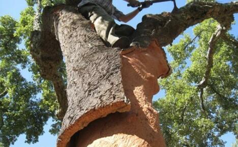 Ценный подарок для людей – пробковое дерево