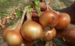 Выращивание крупного лука на дачных грядках