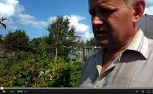 Видео: как правильно ухаживать за малиной