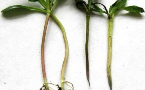 Способы борьбы с болезнями и вредителями петунии