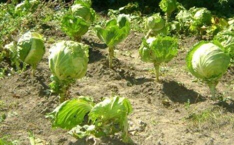 Что можно и что нельзя выращивать после капусты на следующий год