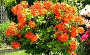 Нежная и стойкая красавица сада — крупноцветковая листопадная азалия