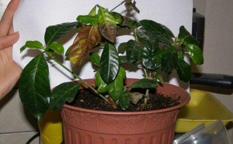Проблемы при выращивании гардении: почернение и опадение листвы