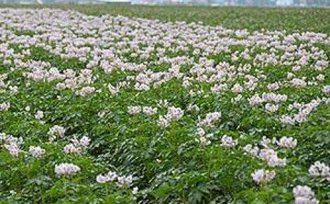 Гербициды для картофеля: какие препараты используются для обработки наделов после всходов