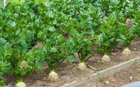 Особенности выращивания и ухода за сельдереем в открытом грунте