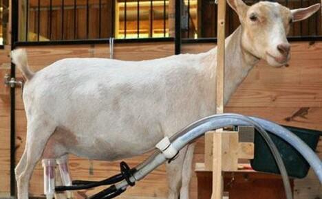 Доильный аппарат для коз освобождает время, облегчает труд