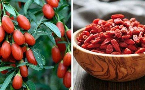 Доступная экзотика для ваших садов — ягода годжи