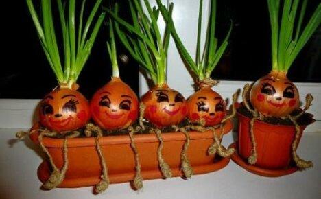 Как вырастить лук на подоконнике: пошаговая инструкция