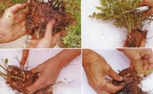 Размножение астильбы делением куста