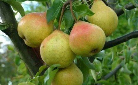 Сорт груши Осенняя Яковлева украсит ваш сад и порадует вкусными плодами