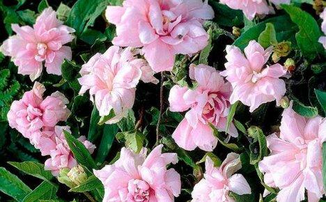 Французские розы в вертикальном озеленении: калистегия
