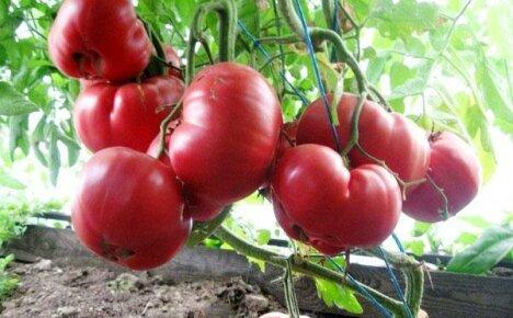 Обратите внимание на помидор Розовый мед