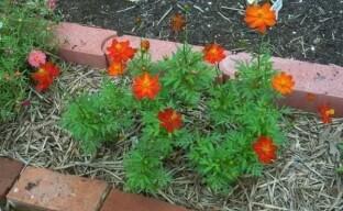 Выращивание космеи: как завести в своем саду неприхотливый цветок