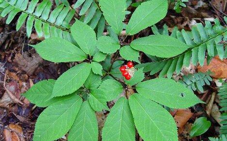 Индийский женьшень выращивание 50