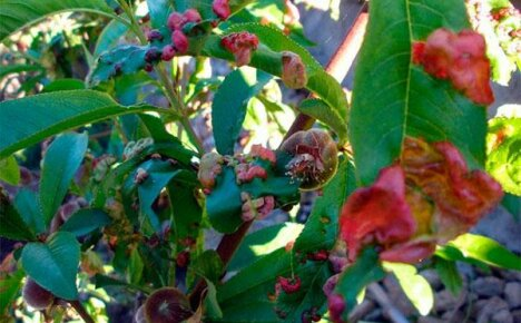 Профилактика курчавости листьев персика
