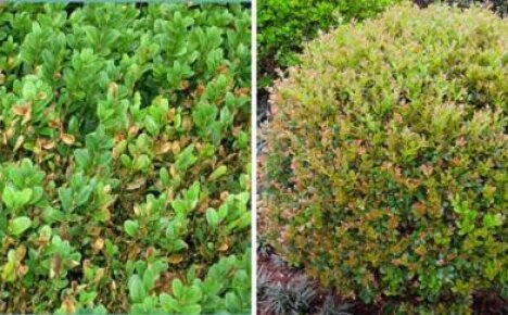 Проблемы при выращивании самшита