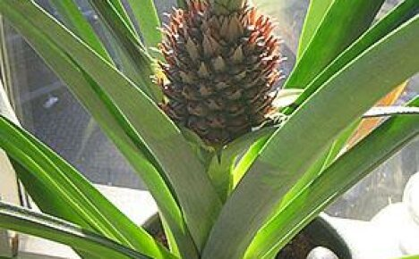 Удивительный комнатный ананас на наших подоконниках