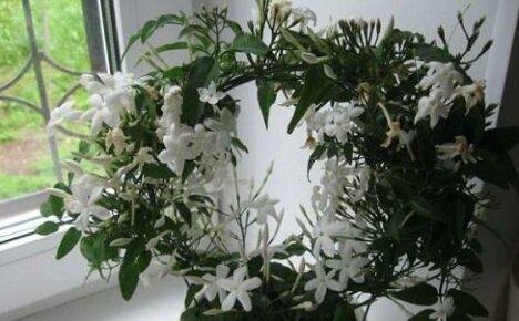 Особенности ухода за самым ароматным комнатным растением — жасмином