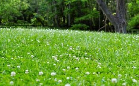 Как создать на песке газон из белого клевера?