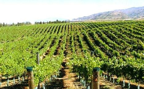 Новые и старые сорта винограда (часть 1)