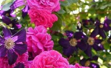 Клумбы с розами — многообразие стилей и форм, достойное королевы