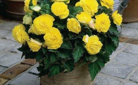 Достойная конкурентка розы — бегония махровая желтая