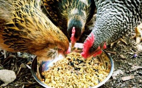 Давайте узнаем чем кормить кур несушек, чтобы лучше неслись