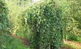 Украшение сада — белоствольная береза Лонг Транк