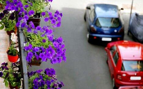 Причины отсутствия цветения у балконных петуний