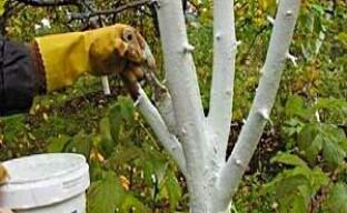 Защищаем плодовые деревья побелкой весной и осенью