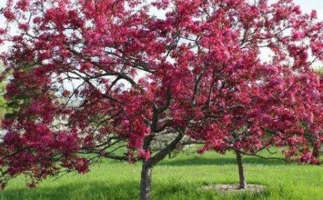 Что собой представляет яблоня с красными листьями
