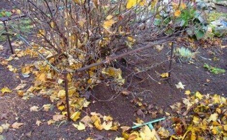 Осенняя пора в саду: удобряем виноград и смородину