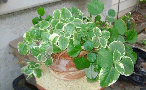 Изучаем полезные и вредные свойства плектрантуса – ароматного комнатного растения