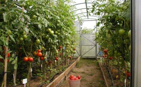 Как ухаживать за помидорами в теплице?