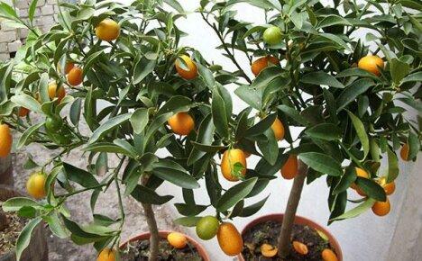 Кумкват в домашних условиях: особенности выращивания и размножения